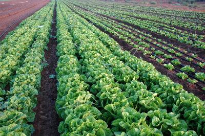 rows of lettuce.